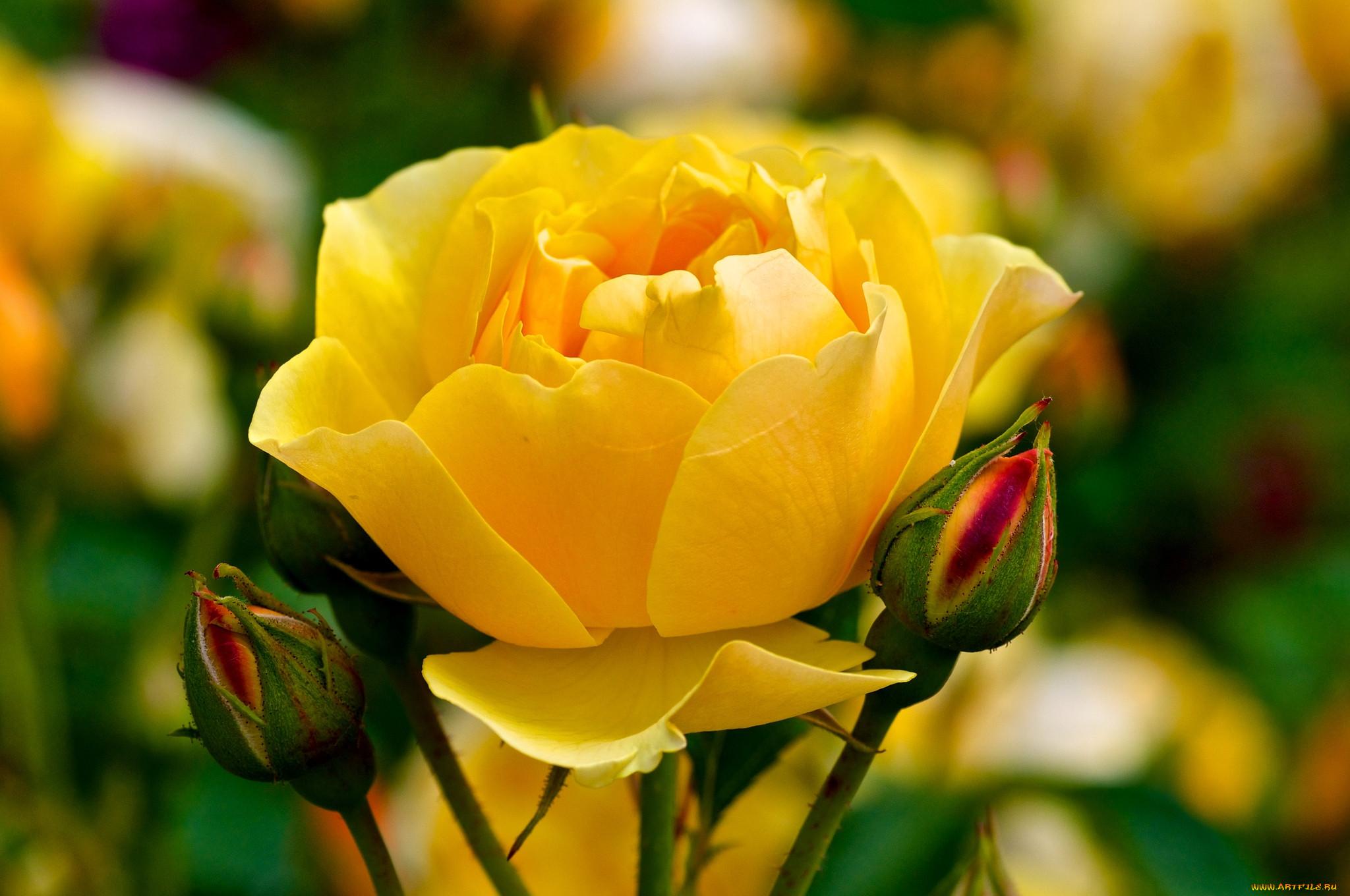 что желтые розы фото на рабочий стол особенностью шин